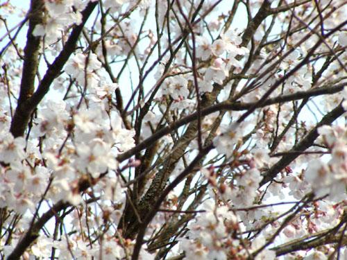 桜前線の始まり